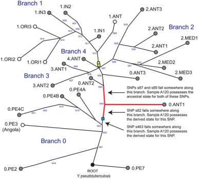 Phylogeny of the Y. Pestis strain found, via Harbeck et al. 2013