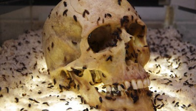 Skull with dermestid beetles eating off flesh, via Tumblr user Oh the Nightmares