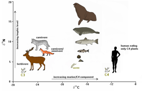 Carbon and nitrogen stable isotope composition of several different organisms (http://chrono.qub.ac.uk/ adapted from Schulting, 1998, via Emma Veerstegh).
