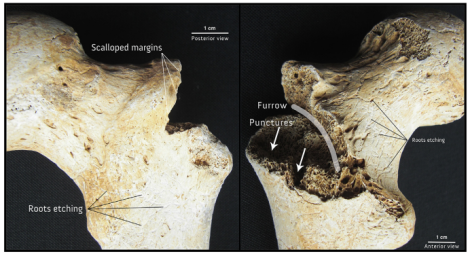 Femur of D2 showing bite marks and other taphonomic changes, from Colard et al. 2014.