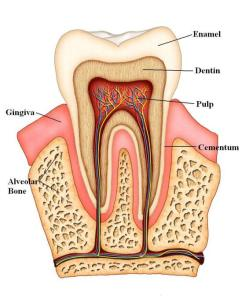 Anatomy of a tooth, via Culpepper DDS