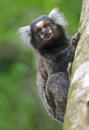 Primates without opposable thumbs includes the Marmoset... definitely no relationship to Bigfoot. Via Wikimedia.